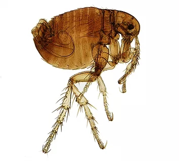 Close up picture of a flea - flea pest contol concept