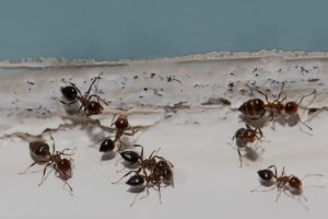 preventing ants in your home