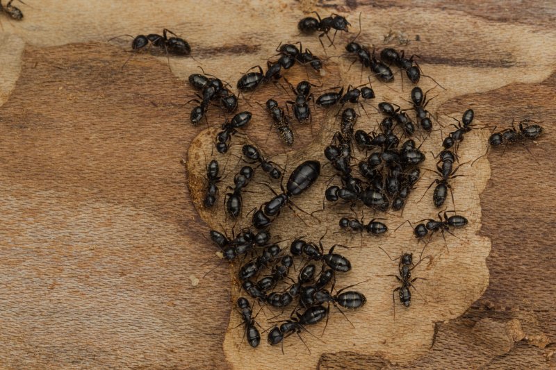 Large queen surrounded by smaller attendants of ant colony found under bark of firewood.
