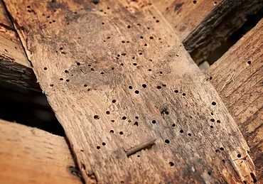 Borer Best Control - see holes where borer have attacked